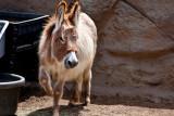 Mediterranean donkey