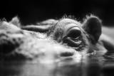 hippopotamus on the surface