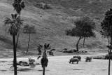 african southern white rhino