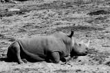 northern white rhinoceras