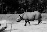 African Black Rhinoceras