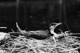 nesting cormorant