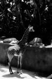 Masai giraffe baby