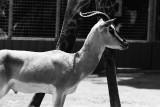 Scale - a gazelle with the Masai giraffe
