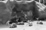 greater kudu group