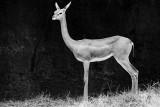 gerenuk female