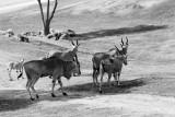 common elands