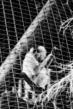 red cheeked gibbon female