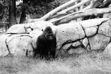 Lowland gorilla - big silverback male
