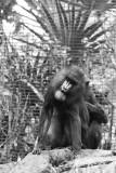 mandrills grooming