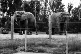 african and asian elephants together!