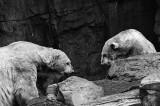 polar bear pair