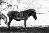 symmetric zebra