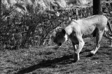 lioness in classic stalking pose