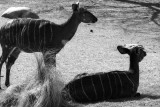 Nyala herd females