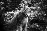 Canada lynx portrait