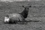 Roosevelt elk in repose