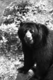 spectacled bear portrait