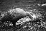 Edith the Cape Breton goose