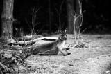 Grey Kangaroo portrait