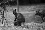wallaby with kangaroos
