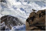 Pic-pecheur Pointe de Kermorvan