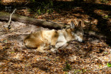 wolfred3850_Red Wolf