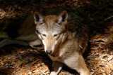 wolfred3887_Red Wolf