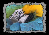 Blue and Gold Macaw 2.jpg