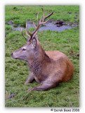 Dominant Stag