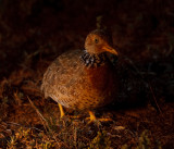 plains_wanderer