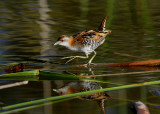 crakes_rails_and_waterhens