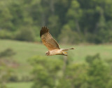 spotted_harrier
