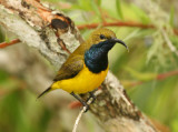 sunbird_and_flowerpeckers