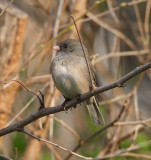 Sparrows and Juncos