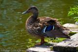 Mallard  -  (Anas platyrhynchos)  -  Canard colvert