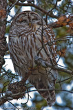 Barred Owl  -  (Strix varia)  -  Chouette rayée
