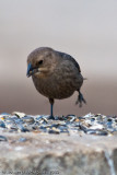 European Starling  -  (Sturnus vulgaris)