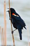 Red-winged Blackbird  -  (Agelaius phoeniceus)  -  Carouge à épaulettes