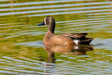 Blue-winged Teal   -  (Anas discors)  -  Sarcelle à ailes bleues