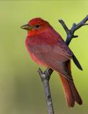Tupelo Backyard Birds