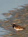 Little Bird in a Tidal Pool