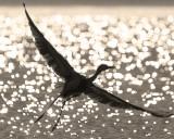 Sparkling Egret