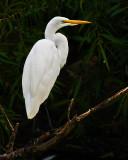 Classic Egret