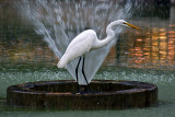 Egret and Fountain