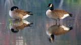 Mirrored Fowl