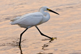 Egret in the Morning Surf