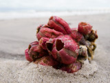 Bouquet of Barnacles