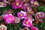 Camelias in the Grass