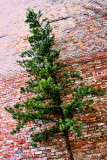 Tree and Brick Wall